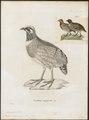 Perdix torqueola - 1700-1880 - Print - Iconographia Zoologica - Special Collections University of Amsterdam - UBA01 IZ17100099.tif