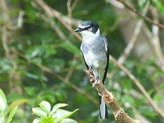 Ryukyu minivet species of bird