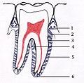 Periodontal bağlar (ligament).jpg