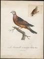 Peristera larvata - 1796-1808 - Print - Iconographia Zoologica - Special Collections University of Amsterdam - UBA01 IZ15600237.tif