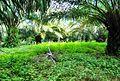 Perkebunan kelapa sawit milik rakyat (9).JPG