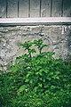 PermaLiv potetgras 07-07-20.jpg