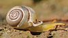 right side view of yellow snail with white shell