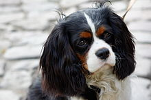 Cavalier king charles spaniel wikipedia cavalier king charles spaniel lesser stop skull not inclined to be domed with spot in centre of skull on the blenheim a white blaze between the eyes is altavistaventures Images