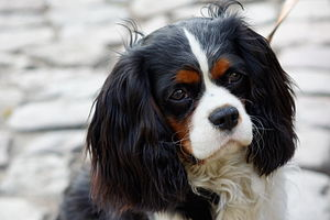 Cavalier King Charles Spaniel - Cavalier King Charles Spaniel; lesser stop; skull not inclined to be domed with spot in centre of skull