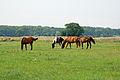 Pferde auf einer Weide 02.JPG