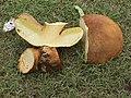 Phaeogyroporus sudanicus (Har. & Pat.) Singer 326900.jpg