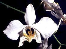 Phalaenopsis amabilis Orchi 03.jpg