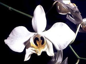 Phalaenopsis amabilis - Image: Phalaenopsis amabilis Orchi 03