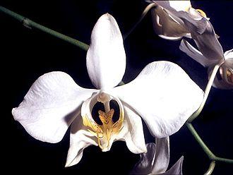 Phalaenopsis - Phalaenopsis amabilis