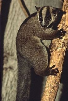Lemur with black stripes over its eyes clings to a vertical tree branch.