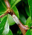 Philaenus spumarus - Flickr - gailhampshire.jpg