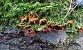Phlebia radiata 53176803.jpg
