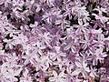 Phlox subulata Candy Stripes 2018-05-04 0842.jpg