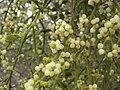 Phoradendron villosum.jpg