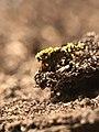 Physarum polycephalum 9995278.jpg