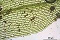 Physcomitrella patens (a, 144649-481016) 6961.JPG