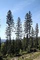 Picea abies Silesian Beskids.jpg