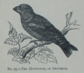 Picture Natural History - No 95 - The Hawfinch or Grosbeak.png