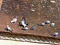 Pigeons sur toit église (1).JPG