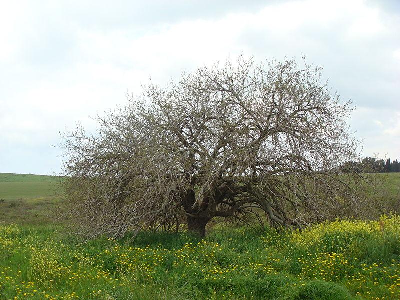 עץ  בשדה בהר הלל