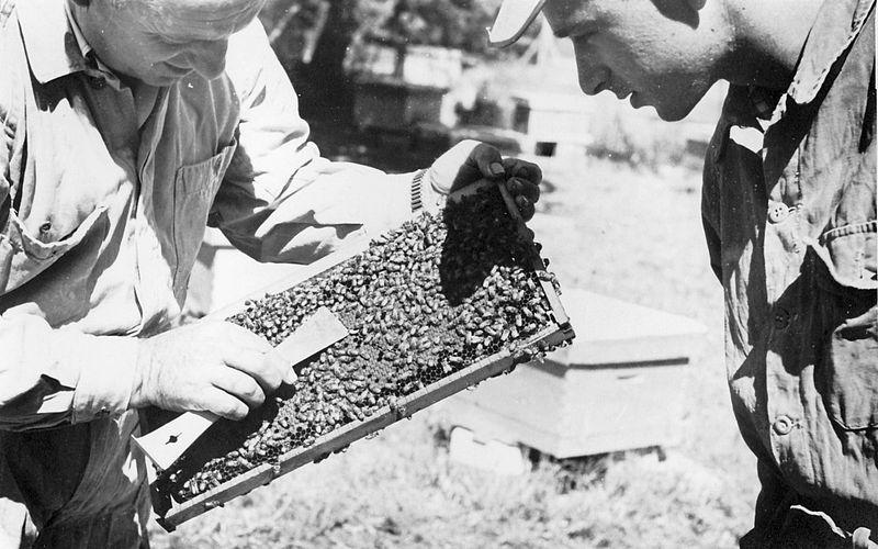 גן-שמואל-בכוורת הדבורים 1955-9