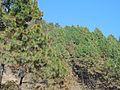 Pine forest in Surkhet.jpg