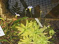Pinguicula primuliflora.jpg