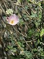 Pink Desert Mallow - Flickr - treegrow.jpg