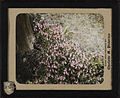 Pink twin-flowers (Linnea borealis). 12a.jpg