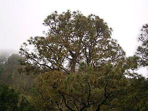 Kanarische Kiefer (Pinus canariensis)