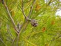 Pinus halepensis 2601.JPG