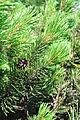 Pinus mugo stems cones 2.JPG