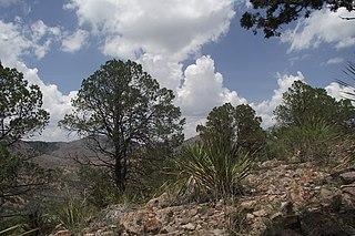 <i>Pinus remota</i> species of plant