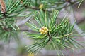 Pinus sylvestris in Aveyron (3).jpg