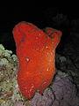 Pione vastifica at Sataya reef.JPG