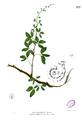 Pithecollobium dulce Blanco2.237.png