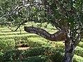 Planta antigua de yerba mate en el laberinto vegetal de Montecarlo - panoramio.jpg