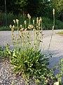 Plantago lanceolata sl1.jpg