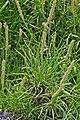 Plantago maritima plant (10) (cropped).jpg