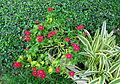 Plantes de Thailande 1.JPG