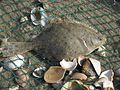 Platichthys flesus (European flounder), Texel, the Netherlands.jpg