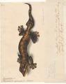 Platydactylus rupicaudus - 1818 - Print - Iconographia Zoologica - Special Collections University of Amsterdam - UBA01 IZAA100165.tif