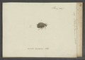 Platytarsus - Print - Iconographia Zoologica - Special Collections University of Amsterdam - UBAINV0274 029 01 03 0059.tif