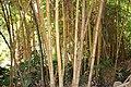Poales - Bambusa vulgaris - 7.jpg