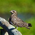 Podager (Chordeiles) nacunda Nacunda Nighthawk.jpg