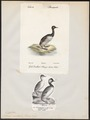 Podiceps auritus - - Print - Iconographia Zoologica - Special Collections University of Amsterdam - UBA01 IZ17800073.tif