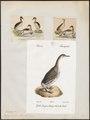 Podiceps grisegena - 1700-1880 - Print - Iconographia Zoologica - Special Collections University of Amsterdam - UBA01 IZ17800065.tif