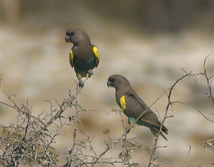 Meyer's parrot - P. m. damarensis pair in Etosha National Park