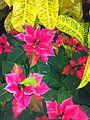 Poisetta (Euphorbia pulcherrima) 2.JPG